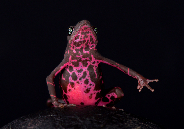 frog-magenta-reptiles-animal-photography-cold-instinct